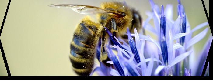 La place des abeilles dans l'écosystème
