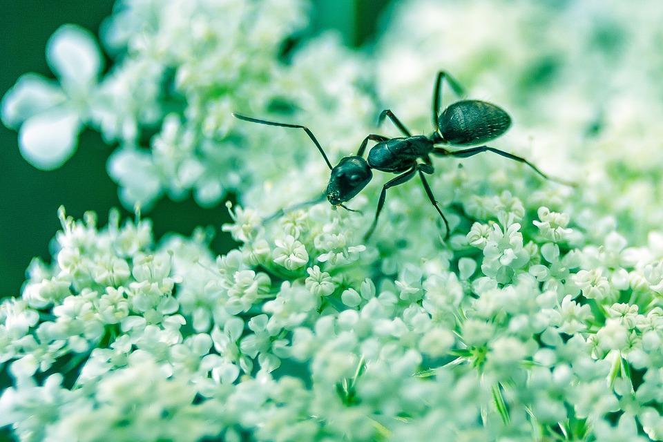 fourmi sur fleur