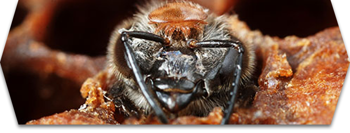 Le parasite de l'abeille : un fléau dont les apiculteurs peinent à se débarrasser